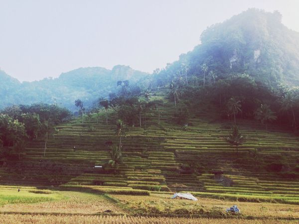 Morning rice field! Landscape_Collection Traveling Visitindonesia Nature
