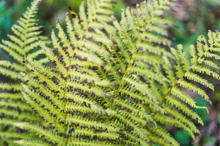 Nature Forest Autumn Green Color Growth Plant No People Leaf Close-up Beauty In Nature Plant Part Day Selective Focus Fern Tree Pattern Full Frame Focus On Foreground Outdoors Backgrounds Natural Pattern Freshness Leaves Coniferous Tree