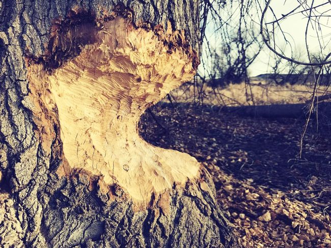 Beaver work. Beaver Beaver Work Tree Trunk Tree Bare Tree Nature No People Tranquility Day Beauty In Nature Close-up Outdoors