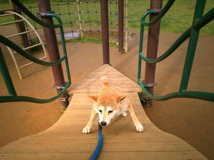 Not go up unreasonable😥😰😞partner🌠sibainu🌠Lan Dog EyeEm Selects EyeEm Gallery EyeEm Confined Space Animal Themes Slide - Play Equipment Outdoor Play Equipment Jungle Gym Slide Playground
