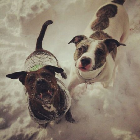 Dogsofinstagram Snow Nemo Kilo BluePitbull