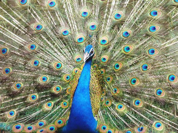 Karnala Bird Sanctuary Peacock Peacock Feather The Week On Eyem The Week On EyeEm