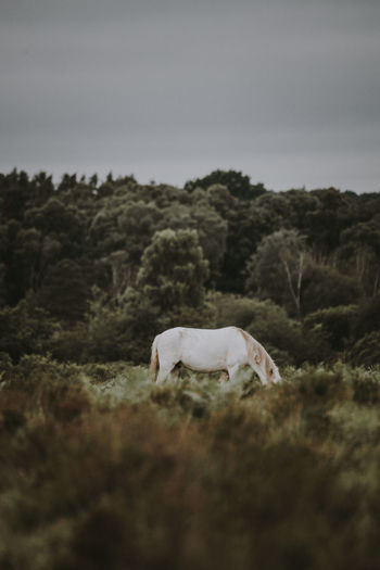 New Forest pony grazing in the New Forest National Park, England New Forest, Animal Animal Themes Day Domestic Domestic Animals Field Grass Herbivorous Land Landscape Livestock Mammal Nature New Forest No People One Animal Outdoors Pets Plant Sky Tree Vertebrate