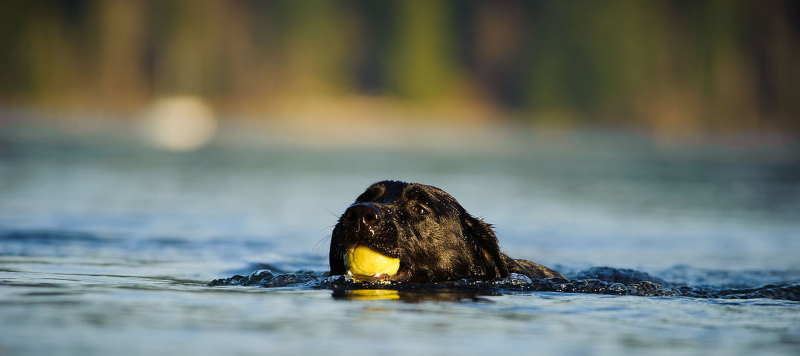 Black labrador retriever carrying ball in mouth while swimming in lake