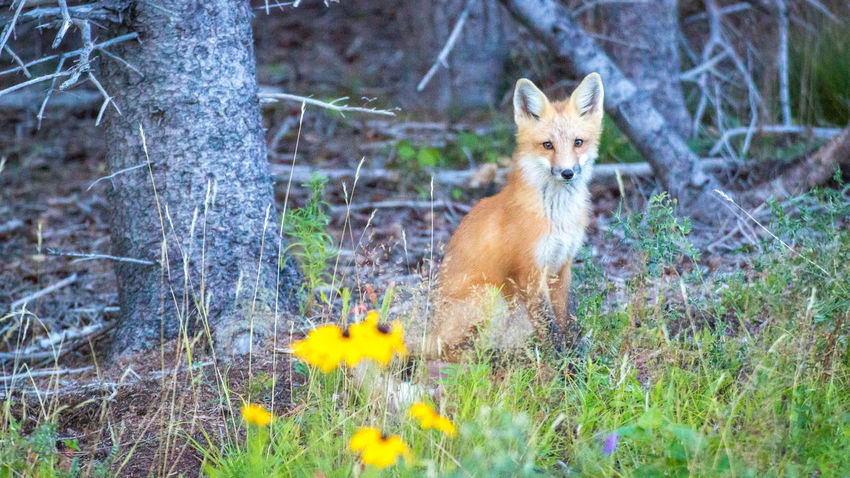 Animal Animal Themes Animal Wildlife Animals In The Wild Beauty In Nature Day Flower Forest Fox Grass Looking At Camera Mammal Nature No People One Animal Outdoors Portrait Wildlife