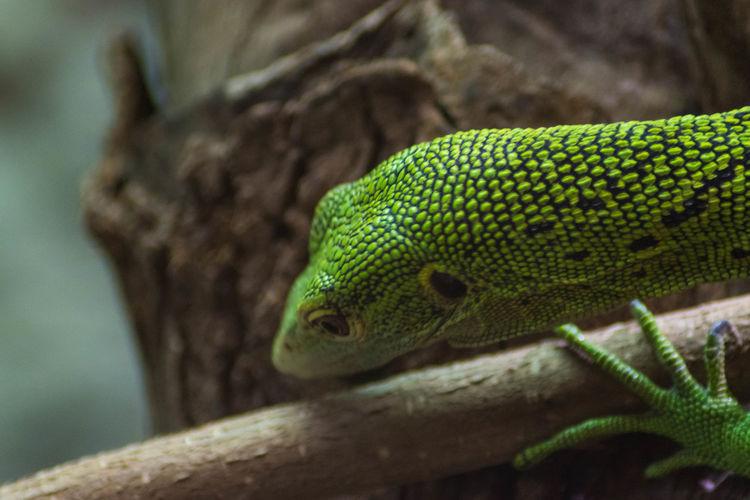 Green tree monitor lizard.