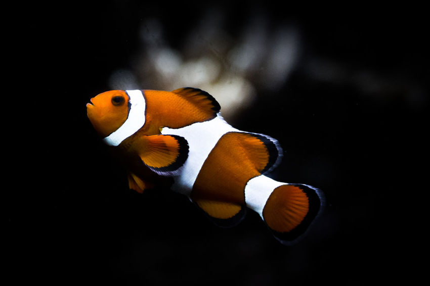 Beauty In Nature Black Background Close-up Clownfish Finding Nemo Fish Fishing Focus On Foreground Nature No People Orange Color Outdoors Pixar  SCUBA Scuba Diving Selective Focus Underwater Wildlife