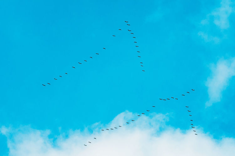 Flock Of Geese Flies In V-formation Flying In Blue Autumn or Spring Sky Animal Bird Blue Clear Fly Group Migration Sky Spring Wild Day Flying Flock Geese V-formation Flies