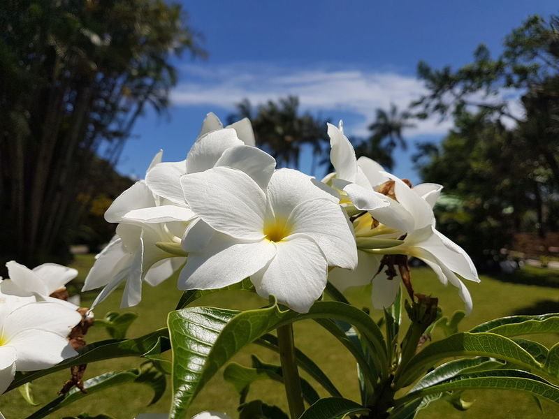 Beauty In Nature Blooming Close-up Day Flower Flower Head Focus On Foreground Fragility Frangipani Freshness Growth Leaf Nature No People Outdoors Periwinkle Petal Plant Tree White Color