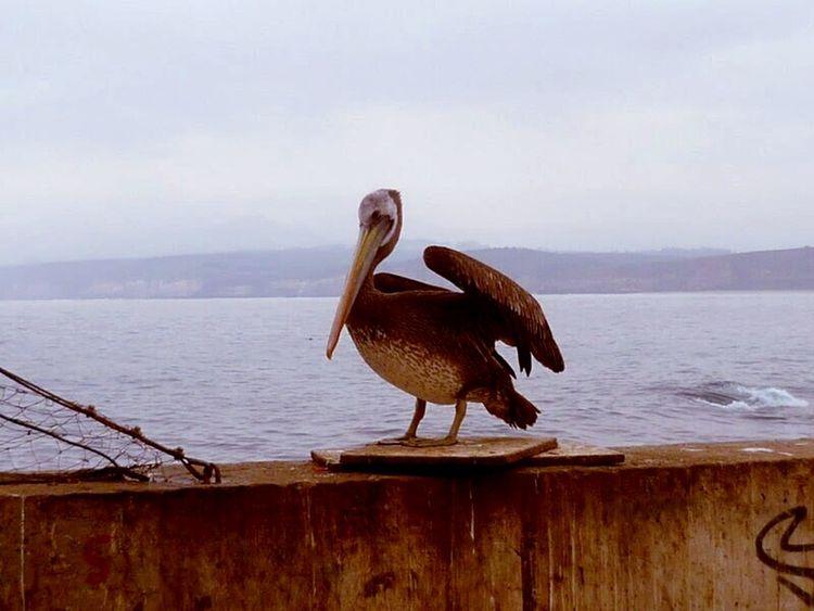 Bird Pelican Coast Horcon Chile PeopleOfTheOceans Adventure Club