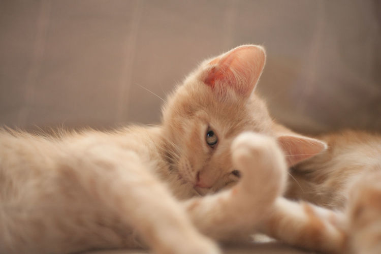 Close-up of kitten resting