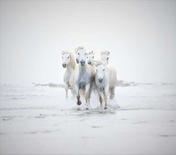 Herd of horses running in lake
