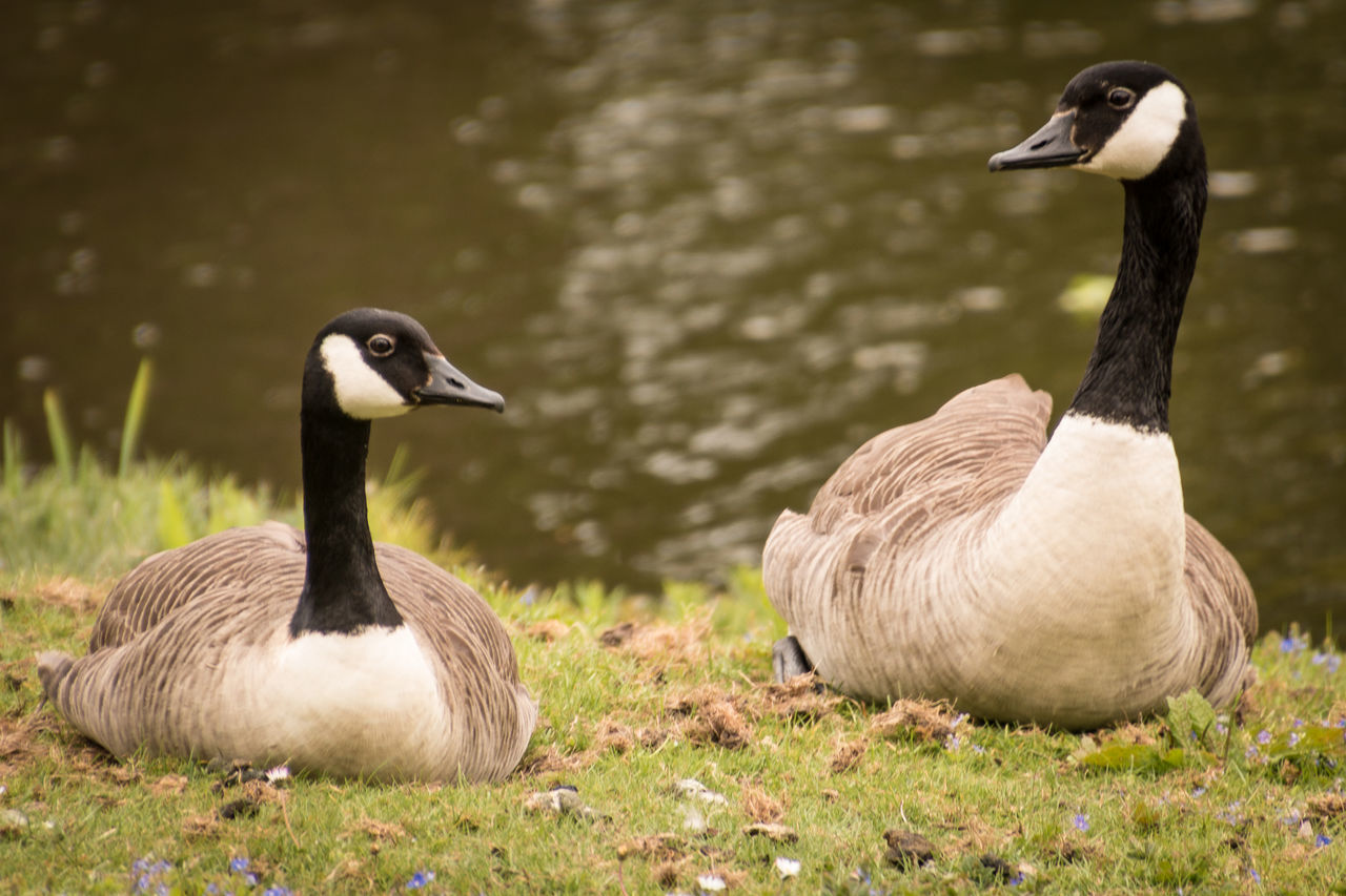 bird, animals in the wild, animal wildlife, animal themes, group of animals, animal, vertebrate, goose, two animals, nature, no people, day, canada goose, lake, duck, water bird, water, poultry, field, land, outdoors, beak, animal family, gosling