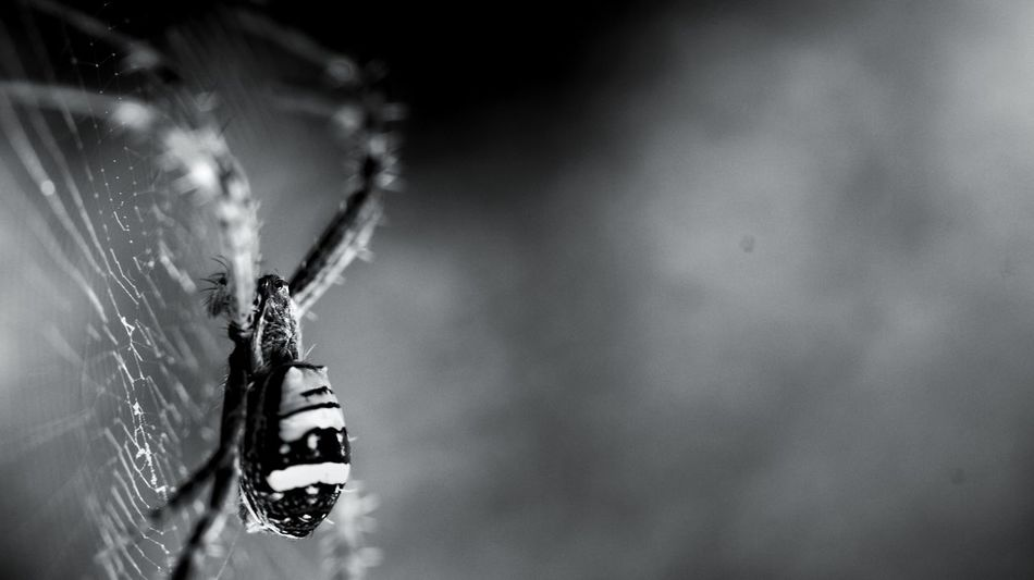 Insect Riot Show #4 EyeEmNewHere Black And White Spider Macro Photography Bnw_friday_eyeemchallenge Bnw Macro Invertebrate Insect Animal Themes One Animal Animal Animals In The Wild Animal Wildlife Close-up Arthropod Spider Web Arachnid EyeEmNewHere