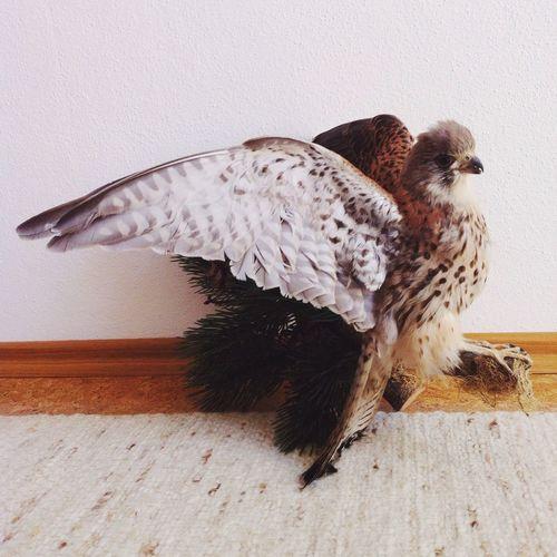 Say hello to Mr. Eagle. A prop for tomorrow's shooting. Eagle Bird