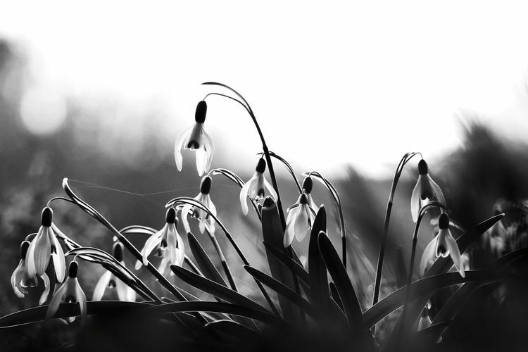 White Flower Flower Garden Flowers Black And White Snowdrop Snowdrops Spring Flowers Nature Beauty In Nature Light And Shadow Garden Freshness Blossom Outdoors Idyllic Black & White Spring Has Arrived Springtime Background Morning Light Bokeh Sky Close-up Plant Blooming Plant Life Flower Head Petal Fragility In Bloom My Best Photo