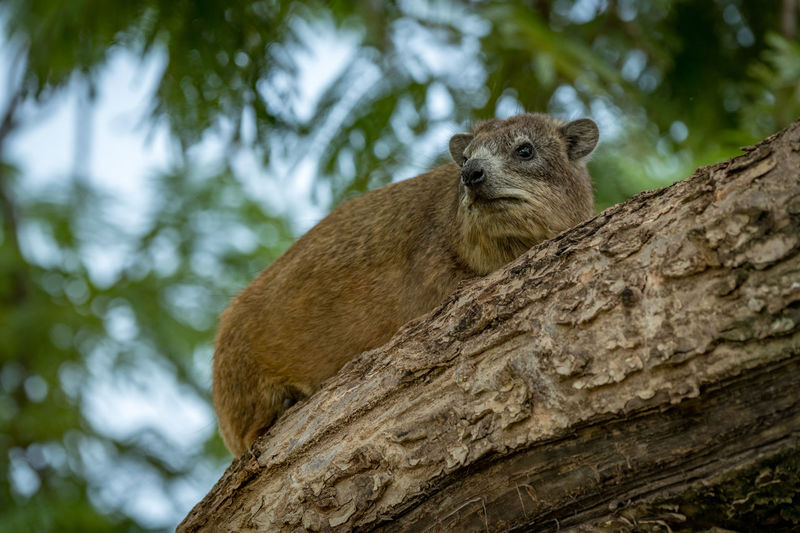 Cape Hyrax Nature Tanzania Travel Africa Animal Animal Themes Animal Wildlife Animals In The Wild Branch Day Focus On Foreground Hyrax Low Angle View Mammal Nature No People One Animal Outdoors Plant Rock Hyrax Rodent Safari Squirrel Tree Tree Trunk Trunk Vertebrate Whisker Wildlife