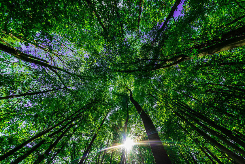 Forestwalk Forest EyeEm Nature Lover Nikon D750 Nikon Fisheye16mm Bamboo - Plant Beauty In Nature Branch Day Directly Below Forest Forestwalk Green Color Growth Land Lens Flare Low Angle View Nature Outdoors Plant Streaming Sun Sunbeam Sunlight Tranquility Tree Tree Canopy  Tree Trunk Trunk The Great Outdoors - 2018 EyeEm Awards