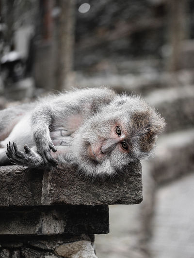 Close-up portrait of a monkey against wall