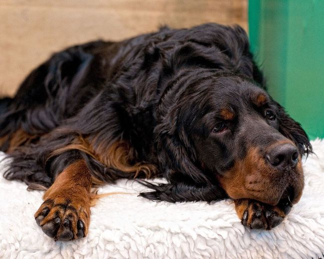 Sad eyes Gordon Setter Dogs Relaxing Dog Portrait Working Dogs Dog Photography Pet Photography  Dog Show Dogslife One Animal Pet Portraits