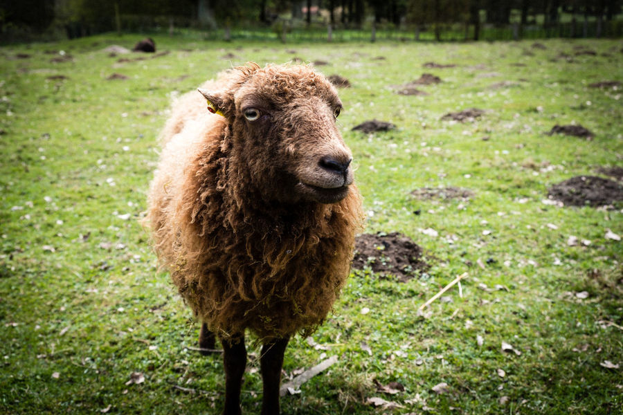 Animal Animal Themes Day Domestic Domestic Animals Field Grass Herbivorous Land Livestock Looking At Camera Mammal Nature No People One Animal Outdoors Pets Plant Portrait Sheep Standing Vertebrate