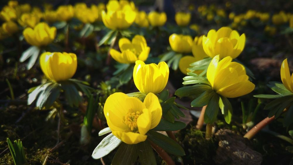 Flower Yellow Plant Nature Flower Head Petal Blossom Growth Beauty In Nature Fragility Close-up Freshness Outdoors No People Day First Signs Of Spring First Spring Flower Springtime Spring Green Color Winter Aconite