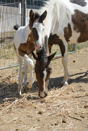 mother and daughter Animal Themes Domestic Animals Field Filly Hay Horses Little Horse Livestock Mammal Mother & Daughter Nature No People Outdoors Paddock Paint Horses Riding School Standing Young Animal