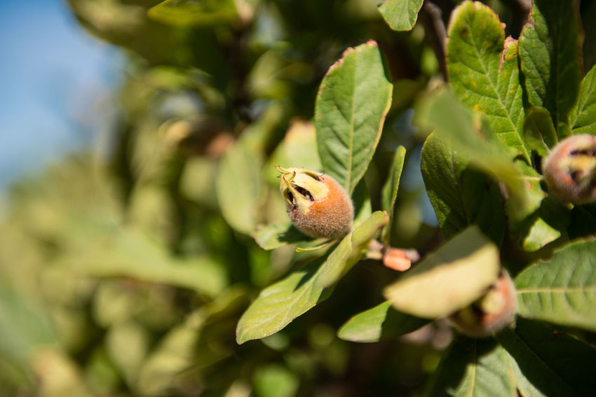Unripe medlar fruit on tree branch Agriculture Beauty In Nature Branch Close-up Day Freshness Fruit Green Color Growth Leaf Medlar Nature No People Outdoors Plant Tree Unripe
