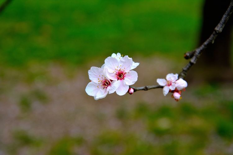 Close-Up Of Cherry Blossoms Blooming On Field