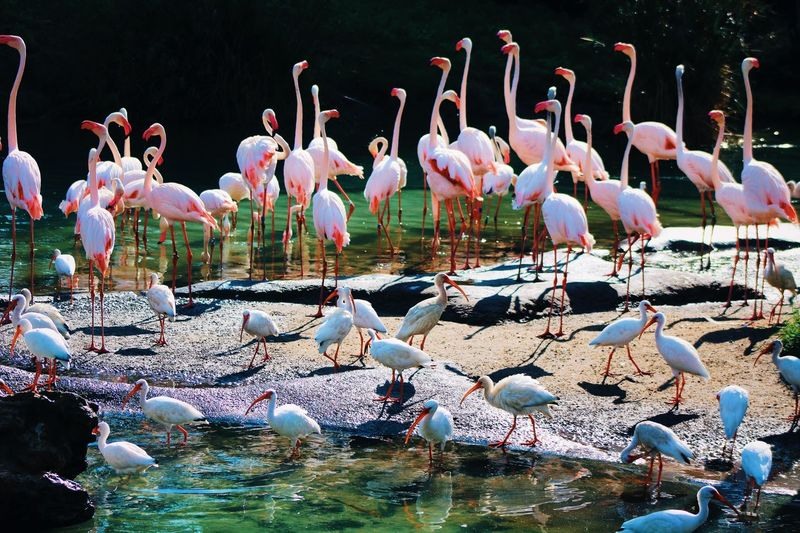 Flamingo Animal Themes Animal Bird Animals In The Wild Large Group Of Animals Animal Wildlife Vertebrate White Color Perching Flock Of Birds Flamingo Lake Water No People Outdoors Beauty In Nature Group Of Animals Nature Day Springtime Decadence
