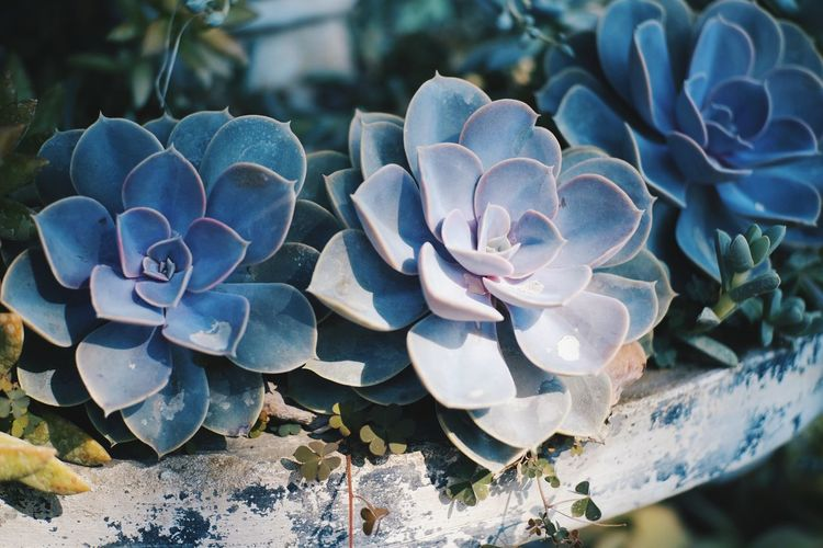Nature Flower Growth Beauty In Nature Plant Petal Outdoors Close-up No People Fragility Flower Head Freshness Day Succulents Succulent Succulent Plants Succulentgarden Succulent Flower Stoneroses