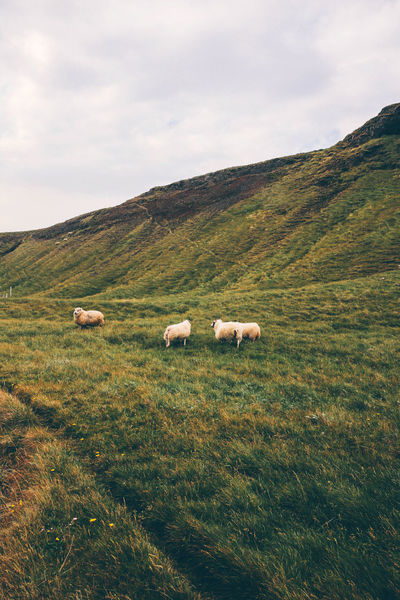 Clouds Europe Grass Green Iceland Landscape Nature Naturelovers Outdoor Outdoor Photography Outdoors Sheeps Travel VSCO Vscocam