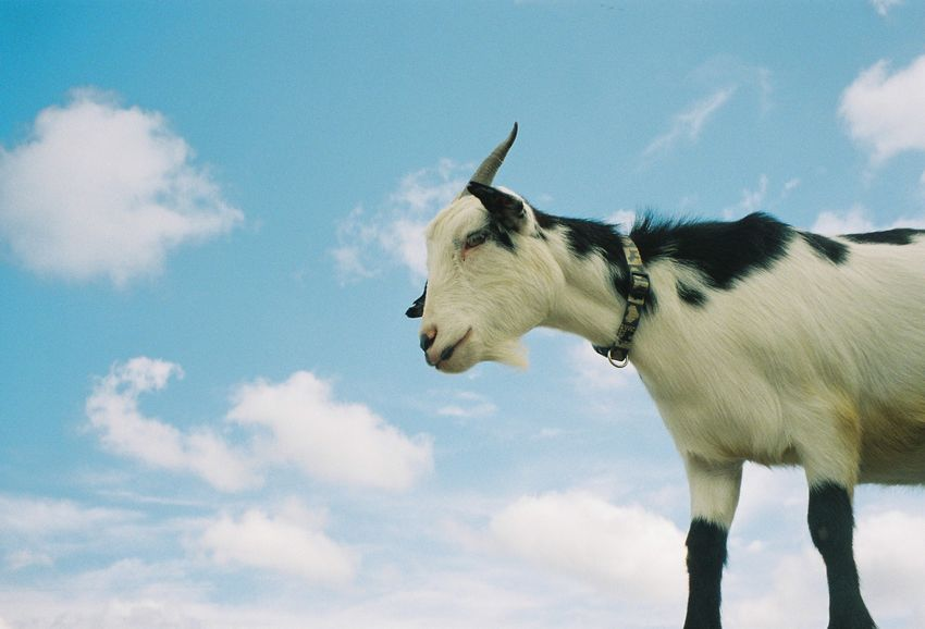 Goat ヤギ Low Angle View Herbivorous Side View Livestock Day No People Nature Vertebrate One Animal Sky Cloud - Sky Mammal Animal Animal Themes Goat Farm Filmphotography Lomography ヤギ 山羊 動物 フィルム写真 ロモグラフィ 空 雲 Livestock Low Angle View Animal Body Part