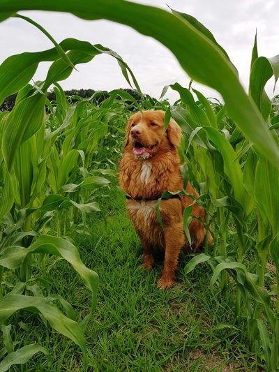 Novascotiaducktollingretriever Pets Dog Field Sky Grass Green Color Plant Agricultural Field Farm Farmland Plantation