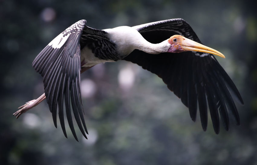 Animal Animal Themes Animal Wildlife Animals In The Wild Beak Beauty In Nature Bird Close-up Day Flying Focus On Foreground Mid-air Motion Nature No People One Animal Outdoors Spread Wings Vertebrate Zoology