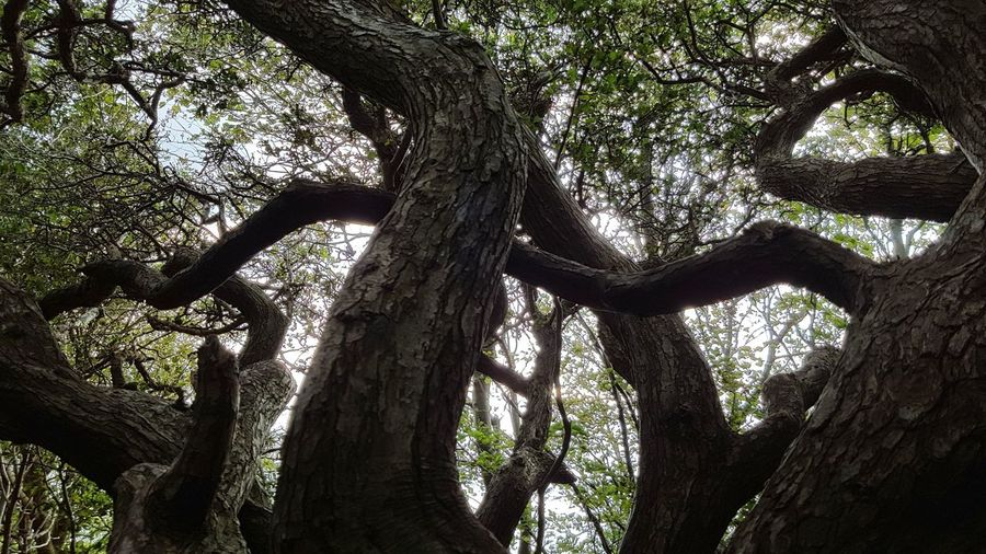 Tree Low Angle View Forest Day No People Tree Trunk Branch Tree Area Beauty In Nature Hiddensee Growth Nature Outdoors Sky Wanderlust Spaetsommer Ostsee Baltic Sea Tranquility Oldtree History Texture Bark Texture Mystic