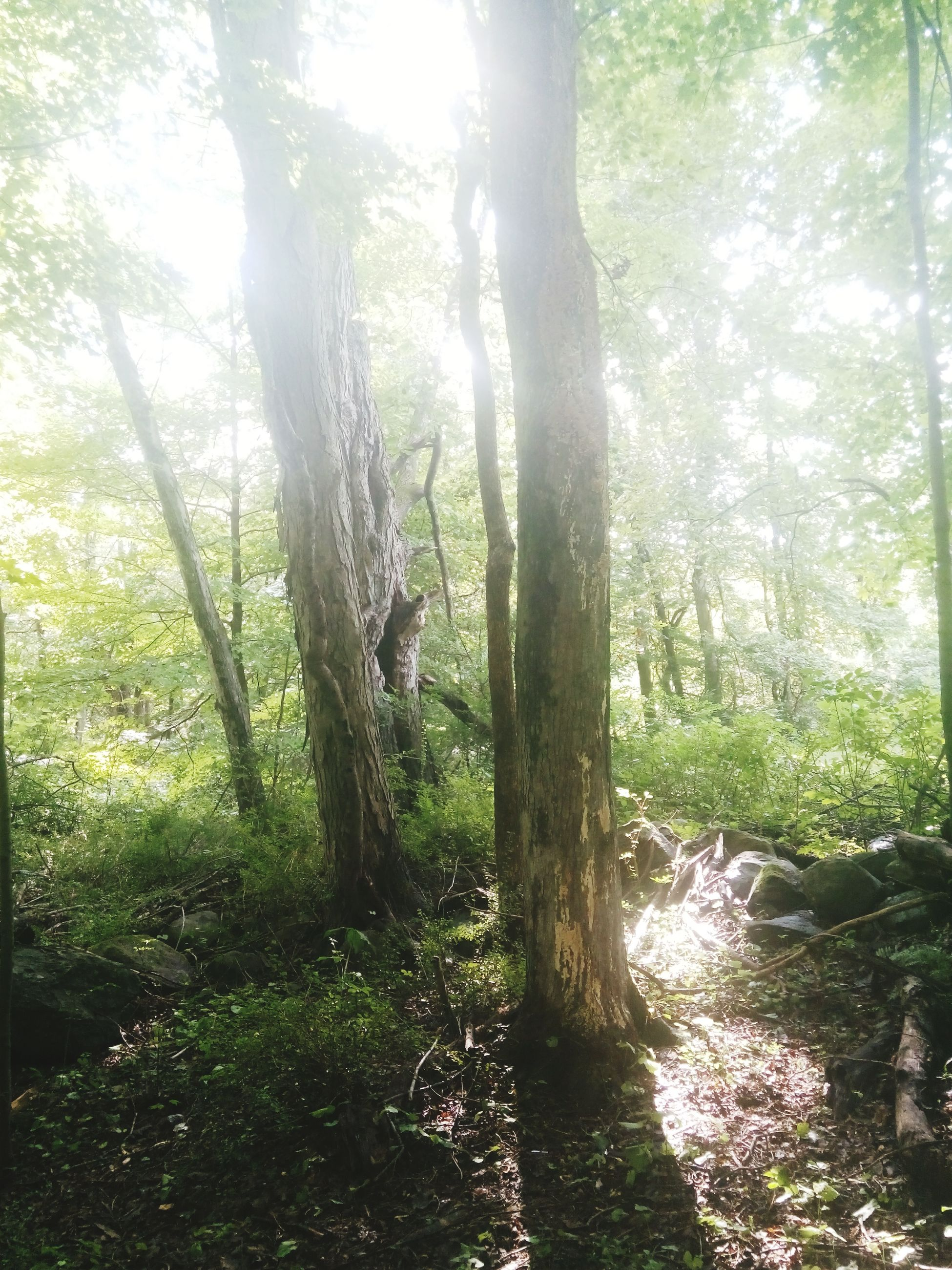 tree trunk, tree, forest, sunlight, growth, tranquility, nature, sunbeam, tranquil scene, woodland, lens flare, day, non-urban scene, scenics, solitude, beauty in nature, green color, outdoors, growing, footpath