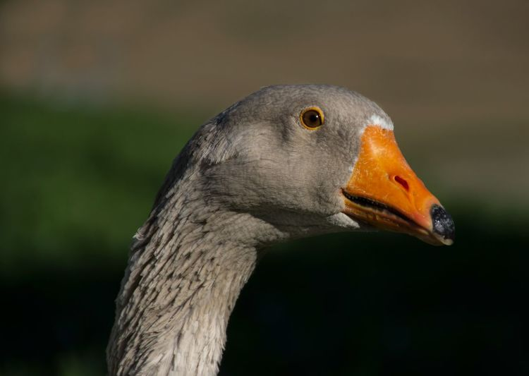 Close-up of greyleg goose