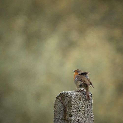 Robin Bird Bird