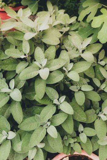 Salbei Leaf
