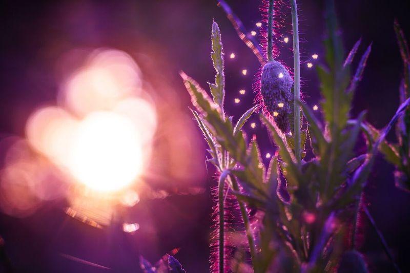 Close-Up Of Illuminated Purple Flowers At Night