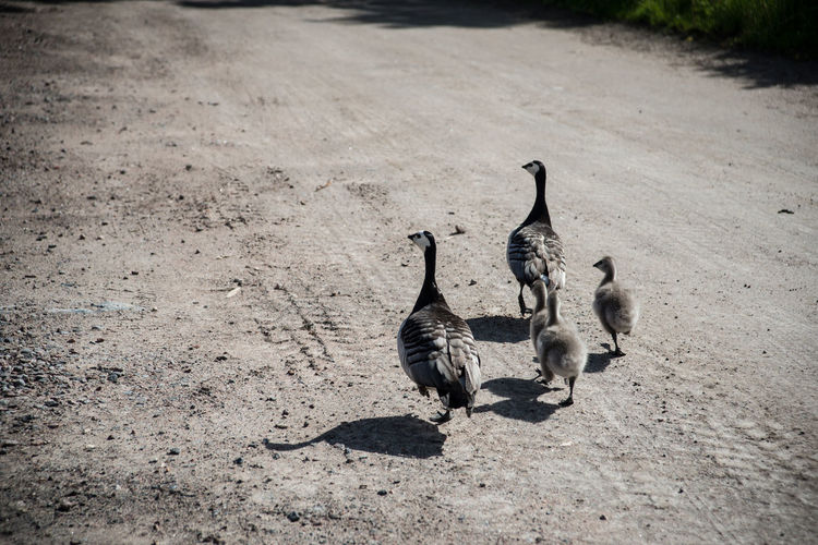 Animal Themes Avian Bird Day Goose Gooses Gose Family Goslings Nature No People Outdoors Road Wild Goose  Wildlife Nature's Diversities The Essence Of Summer