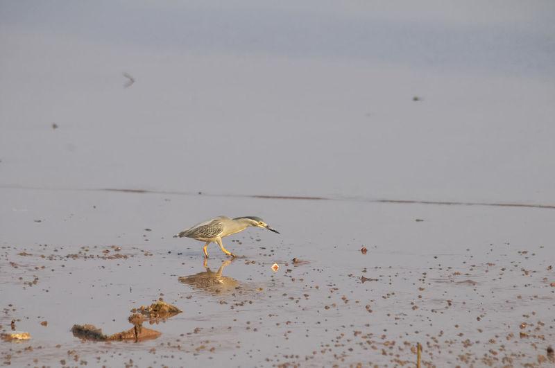 Bird Walking At Beach Against Sky