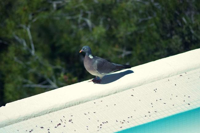Animal Bird Dove Ibiza No People One Animal Pigeon Pool Splitview Summer Sun