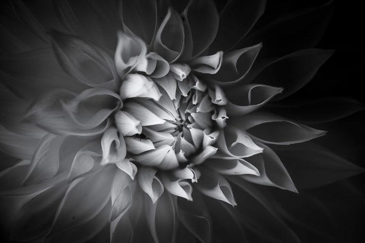 Close-up of white dahlia on plant