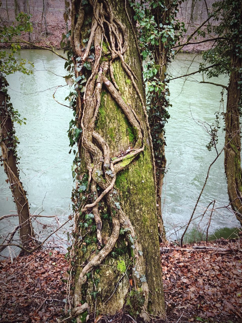 tree, tree trunk, nature, water, beauty in nature, branch, day, tranquility, outdoors, no people, lake, growth, root, forest, tranquil scene, scenics, landscape, bare tree, thick, dead tree, sky