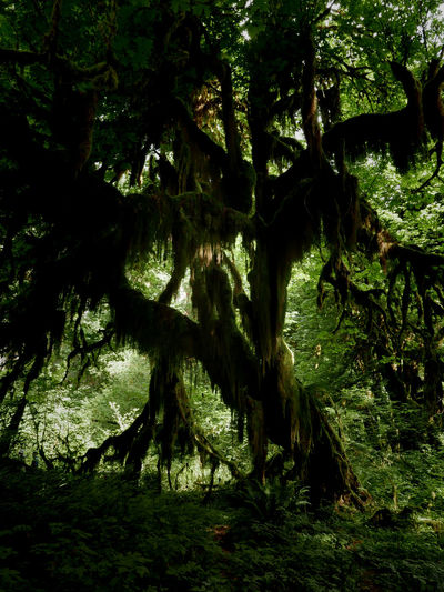 Dark Forest Green Branch Forest Growth Moss Mossy Tree Nature Rainforest Tree Tree Trunk