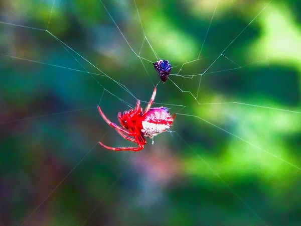 Spider Web Spider One Animal Focus On Foreground Insect Animals In The Wild Close-up Animal Themes Web Animal Wildlife Nature No People Animal Leg Outdoors Fragility Day Full Length Beauty In Nature Macro Red Color Red Spider Creapy Scary Natures Diversities Beauty In Nature