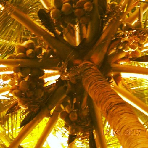 Coconuts Nature Photography Family SLR DSLR Picoftheday Instapic Friends Bro Summer Enjoyed Party Fullon Love Instagram