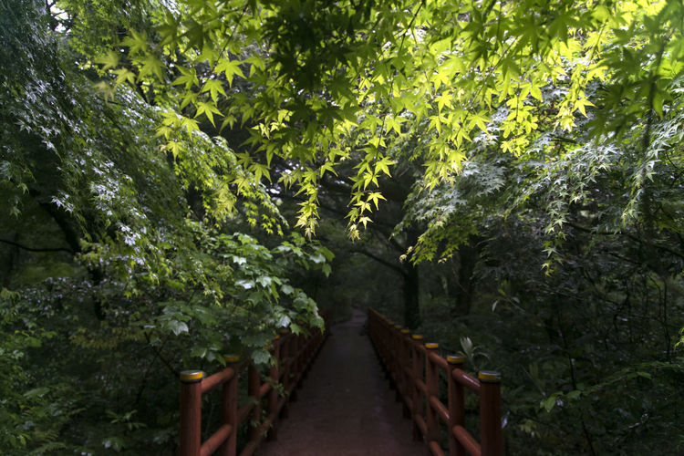 rainy day of Bijarim which is a famous forest in Jeju Island, South Korea Beauty In Nature Bijarim Day Foliage Footbridge Forest Freshness Growth JEJU ISLAND  Maple Nature No People Outdoors Pathway Plant Rainy Scenics The Way Forward Tranquility Tree